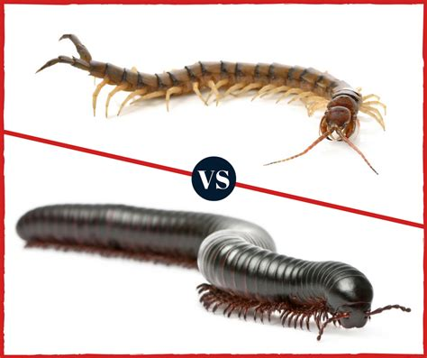 how many legs does a bed bug have how many legs do bed bugs have what s the difference centipedes vs millipedes pest