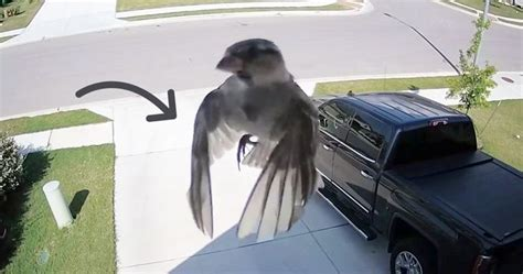 birds wings  perfectly synced  cameras frame rate    mess   mind