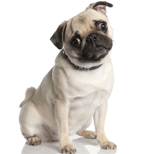how fast can a pug run pug dogs breeds