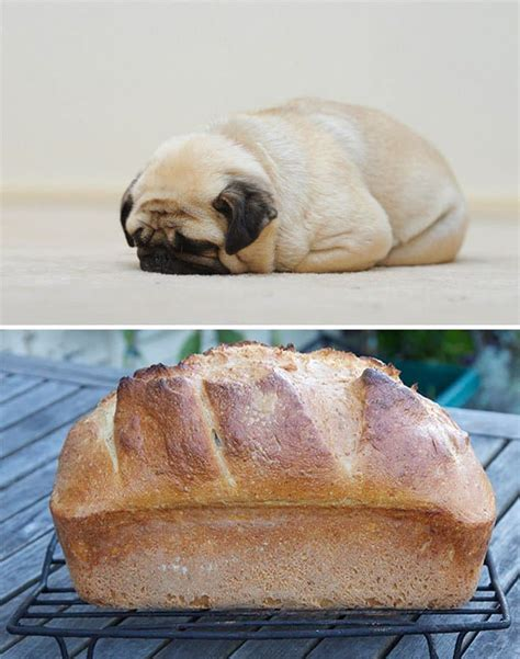 pug bread pug that looks like a loaf of bread car tuning breeds picture