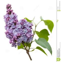 lilac flower meaning 33 best images about lilacs for tattoo on pinterest vintage search and lilac flowers