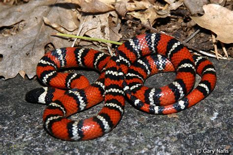 snake pattern red black yellow poisons eastern coral snake montes417