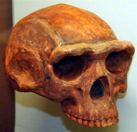 homo erectus homo erectus wikipedia