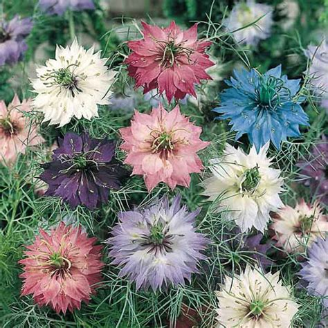 love   mist seeds nigella flowers annual flower seeds
