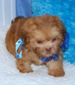 yorkie poo puppies for adoption in illinois pets chicago il free classified ads