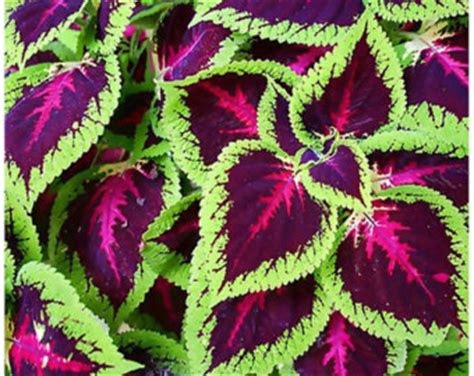 coleus rainbow mixed seeds greenmylife all about gardens