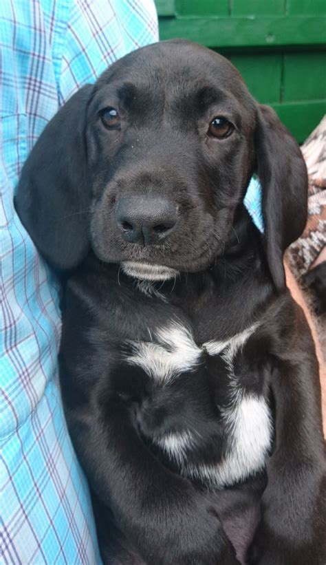 german shorthaired lab puppies german shorthaired pointer x labrador puppies march cambridgeshire pets4homes