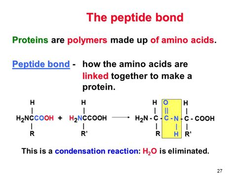 a protein is a polymer that is made of proteins the function of proteins amino acids the peptide