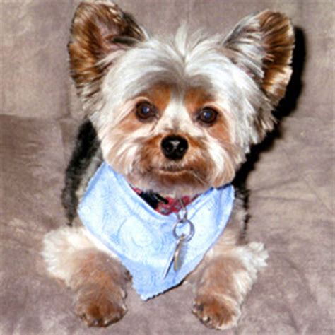 united yorkie rescue united yorkie rescue a 501 c 3 non profit terrier rescue organization
