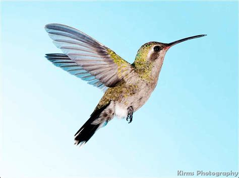 arizona hummingbirds