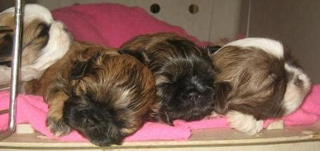 shih tzu breeders washington state wa imperial shih tzu breeder washington shih tzu breeder