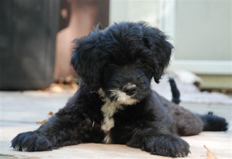 water puppies black and white portuguese water puppies search puppies i want