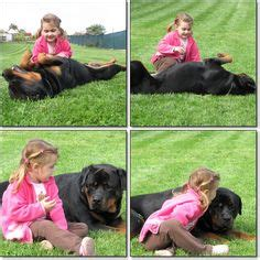 gateway rottweilers 1000 images about rottweiler on rottweilers rottweiler and