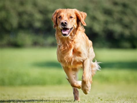 best diet for golden retriever puppies the best foods for a healthy candis