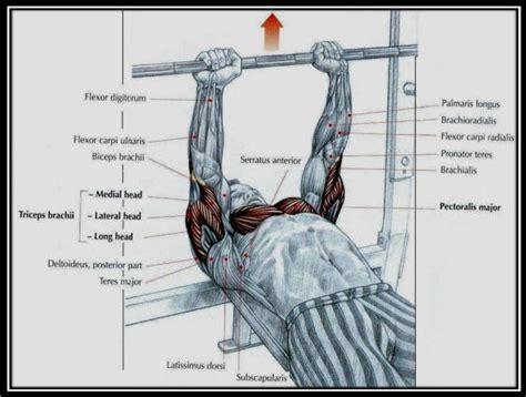 medium grip bench press g 246 ğ 252 s kası geliştirme hareketleri doğal v 252 cut geliştirme fitness beslenme