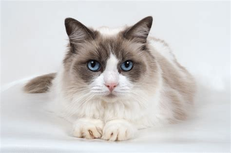 ragdoll information ragdoll cats cat breed information pictures
