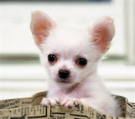 teacup puppy breeds teacup breeds aol image search results