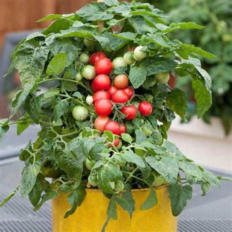 Bertanam Tomat Di Dalam Pot Dan Kebun Mini 50 jenis tanaman hias obat akar batang buah dilengkapi gambar dan penjelasan