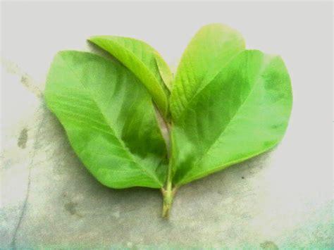 share info sehat daun herbal jambu biji  manfaatnya