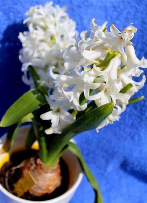 garten wissen gartenhyazinthe hyacinthus orientalis garten wissen