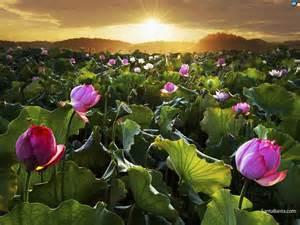 Lotus Santa Lotus Wallpaper 7