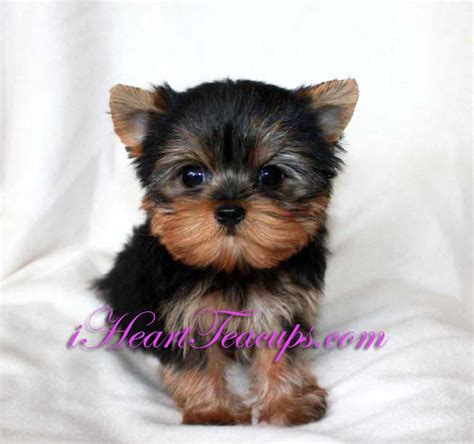 yorkie grown size teacup puppy pictures