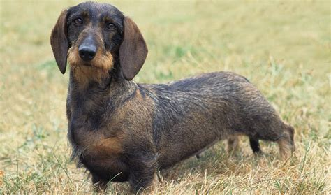 dachshund breed dachshund breed information