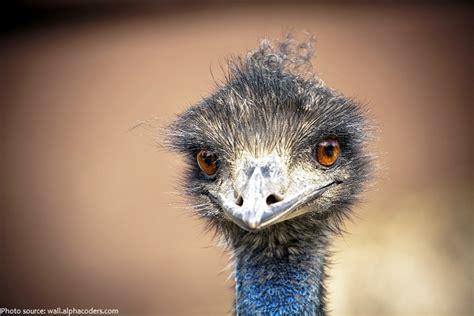 interesting facts  emus  fun facts
