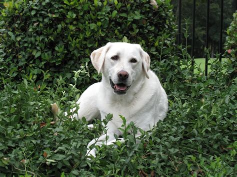 white labrador retriever puppies white labrador retriever dogs