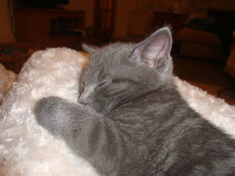 blue kittens for sale blue grey kittens for sale reading berkshire pets4homes