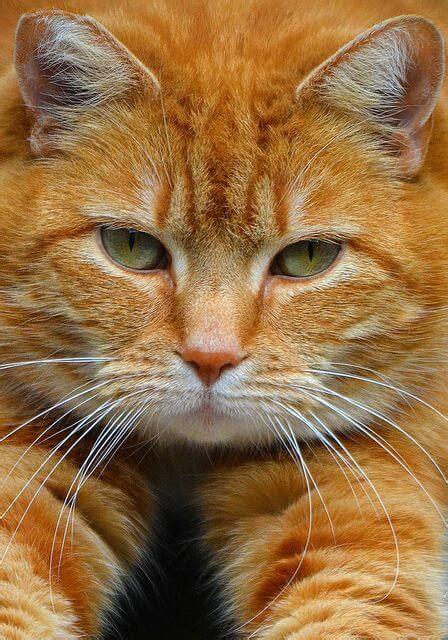 Sho Kucing Anti Rontok mengenal kucing garfield yang luar biasa exotis okdogi