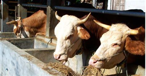 Info Bibit Sapi info burung pakan ternak sapi yang baik
