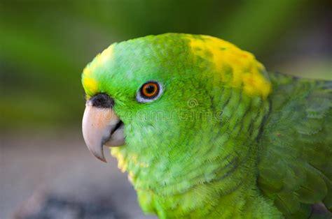 imagenes de loritos verdes loros verdes del amazonas foto de archivo imagen de