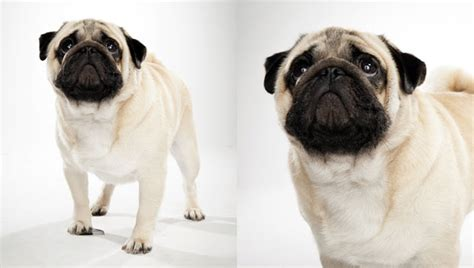 pug planet rescue pug breed selector animal planet