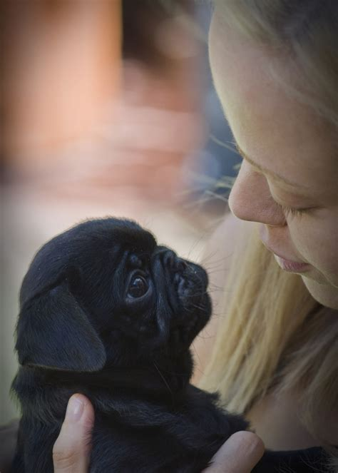 pug puppies for adoption in massachusetts affectionate black pug puppy for adoption springfield dogs for sale puppies for