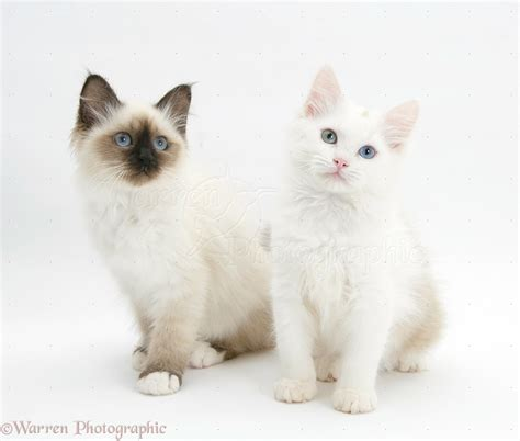 ragdoll vs ragdoll birman and birman x ragdoll kittens photo wp30992