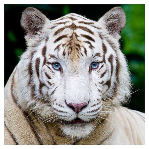 White Tiger L by Bengal White Tiger 3 366 A Bengal White Tiger At The