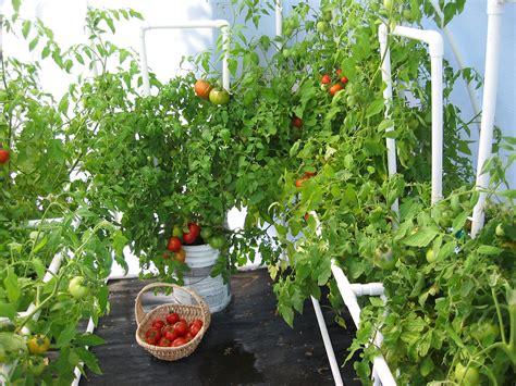 gardening cherry tomatoes