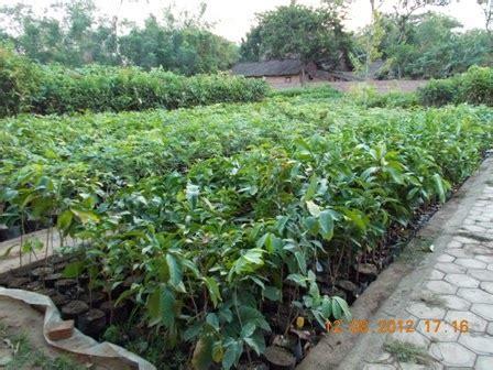 Bibit Buah Duku Palembang bibit duku palembang jual bibit tanaman buah hias hutan