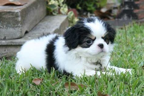 japanese chin puppies for adoption japanese chin puppies available 631 960 7296 for sale adoption from calgary alberta