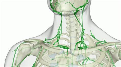 vaso linfatico vaso linfatico circolazione linfatica animazione al