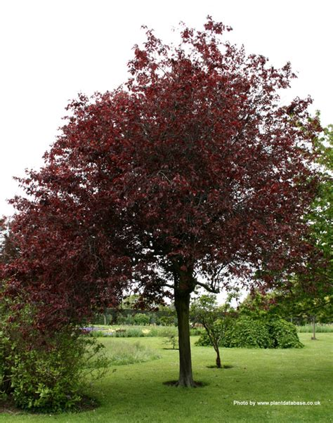 buy cherry or myrobalan plum tree online from uk supplier