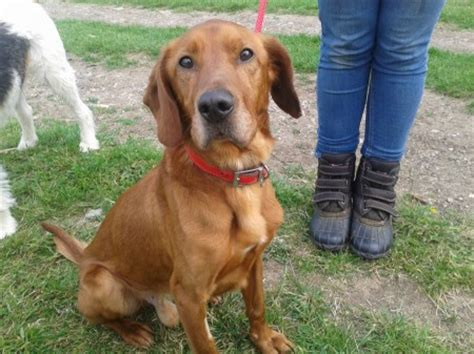 setter cross dog rescue red 3 year old male red setter cross dog for adoption