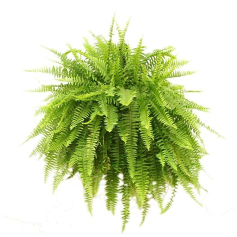 Hanging Plant Diy by Delray Plants Boston Fern In 10 In Hanging Basket