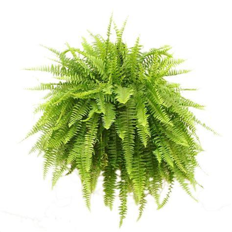 Bathroom Flooring Options Ideas by Delray Plants Boston Fern In 10 In Hanging Basket