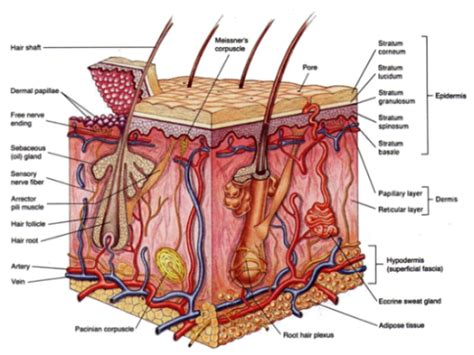 longitudinal section of skin mr lima s wikiclass skin cross section