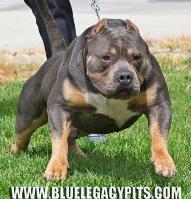 tri color pitbulls for sale best 25 pocket pitbull for sale ideas on