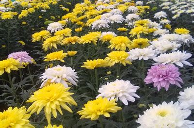Chrisant Flower chrysanthemum cultivation information guide agrifarming in