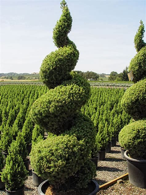 image gallery evergreen topiary