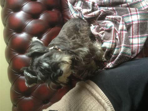 house trained dogs for sale minature schnauzer puppy fully house trained chatham